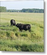 American Cattle Metal Print