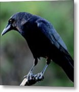 American Crow In Thought Metal Print