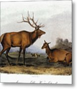 American Elk, 1846 Metal Print