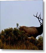 American Elk Metal Print by Carrie Putz