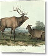 American Elk Metal Print