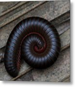 American Giant Millipede Metal Print by April Wietrecki Green