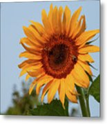 American Giant Sunflower In The Morning Metal Print