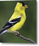 American Golden Finch Metal Print