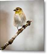 American Golden Finch Winter Plumage 6 Metal Print