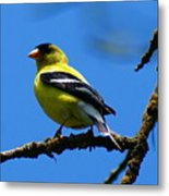 American Goldfinch 1 Metal Print