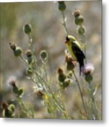 American Goldfinch Having Lunch On Bakery Hill 2 Metal Print