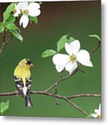 American Goldfinch In Dogwood Metal Print