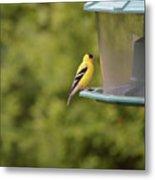 American Goldfinch No Food  Metal Print