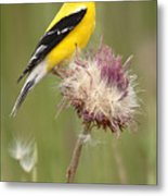 American Goldfinch On Summer Thistle Metal Print