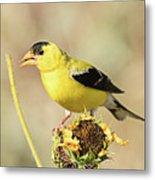 American Goldfinch On Sunflower Metal Print