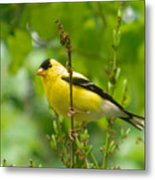 American Goldfinch Sittin' In A Tree Metal Print