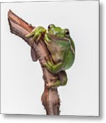 American Green Tree Frog Metal Print