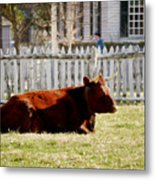 American Milking Devon In Spring Metal Print