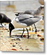 American Oyster Catcher Metal Print