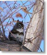 American Red Squirrel Metal Print