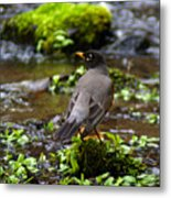 American Robin In Garden Springs Creek Metal Print