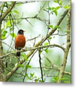 American Robin On Tree Branch Metal Print