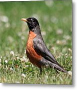 American Robin Metal Print by Wingsdomain Art and Photography
