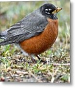 American Robin With Muddy Beak Metal Print