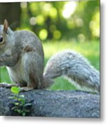 American Squirrel Metal Print