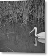 American White Pelican Among Reeds         Minnesota Zoo          Autumn Metal Print