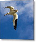 American White Pelican In Flight Metal Print