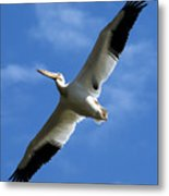 American White Pelican Wings Metal Print