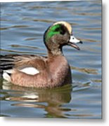 American Widgeon Calling From The Water Metal Print