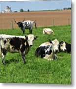 Amish Farm With Spotted Cows And Cattle In A Field Metal Print