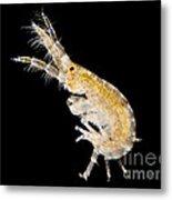 Amphipod Crustacean, Lm Metal Print