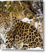 Amur Leopard In A Snowy Forrest Metal Print