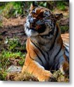 Amur Tiger 6 Metal Print