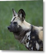 An African Hunting Dog Metal Print