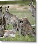 An Alert Mob Of Eastern Grey Kangaroos Metal Print