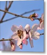 An Almond Tree Blooming Metal Print