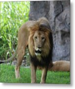 An Amazing Look At A Prowling Lion Standing In Grass Metal Print
