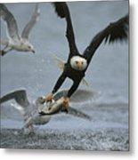 An American Bald Eagle Grabs A Fish Metal Print
