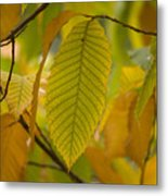 An American Chestnut Tree Castanea Metal Print