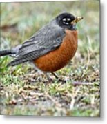 An American Robin With Muddy Beak Metal Print