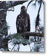 An Eagle Gazing Through Snowfall Metal Print