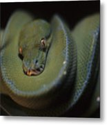 An Immature Green Tree Python Curled Metal Print