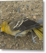 An Orchard Oriole On A Gravel Road Metal Print