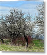 Ancient Apples Budding Out Metal Print