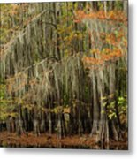 Ancient Cypress Forest Metal Print