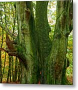 Ancient German Oak Trees In Sababurg Metal Print