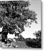 Ancient Oak, Bradgate Park Metal Print