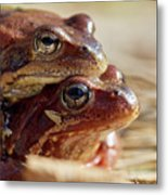 And Then I Found You. European Common Brown Frog Metal Print