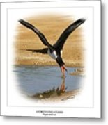 Andrews Frigatebird Fregata Andrewsi 4 Metal Print