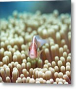 Anemone And Pink Clownfish Metal Print